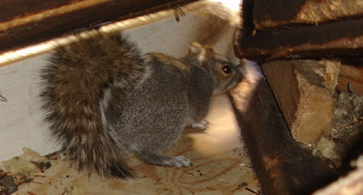 Nuisance Wildlife Removal North Carolina